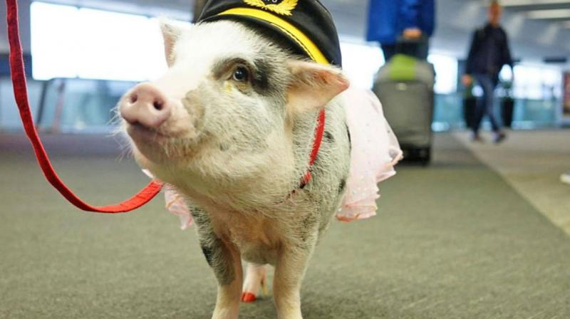 """The five-year-old Juliana pig and her owner, Tatyana Danilova, are part of San Francisco International Airport's """"Wag Brigade"""" - a program that brings therapy animals to the airport to cheer passengers up and help ease travel anxieties. (Photo: Twitter)"""