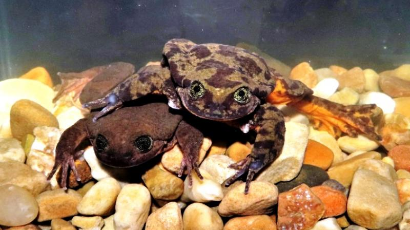 A combination of climate change, habitat destruction, contamination, chytridiomycosis and the introduction of invasive trout provoked the abrupt demise of many aquatic frog species in Bolivia, Ecuador and Peru. (Photo: AFP)