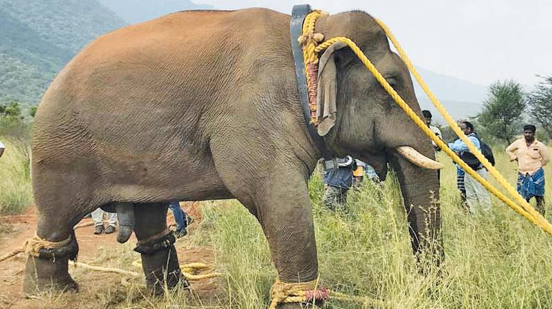 Chinnathambi being  captured for translocation the second time. (Photo: DC)