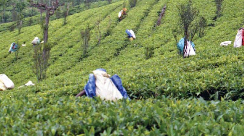 In TN, which is mainly Arabica coffee producing region, the post monsoon production estimate of 2018-19 was placed at 17,765 MT, showing a decline of -1,535 MT (-7.95%) over the post blossom estimate (19,300 MT) of 2018-19. (Representional Image)