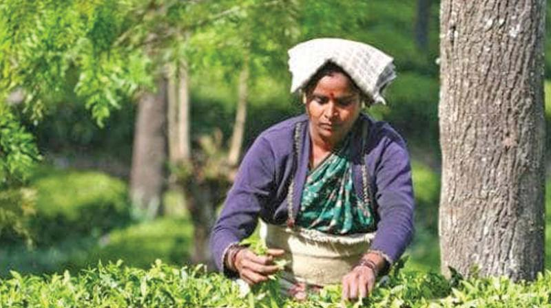 During this period, manufacturing units also tend to involve in continuous collection of green tea leaves and production, thereby lowering quality. (Representative Image)