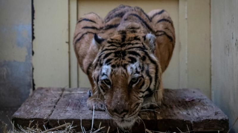According to animal rights organisations, only between 3,200 and 3,900 tigers live in the wild worldwide. (Photo: AFP)