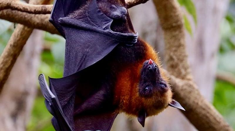 Fruit bats don't carry Nipah virus. Then who does?