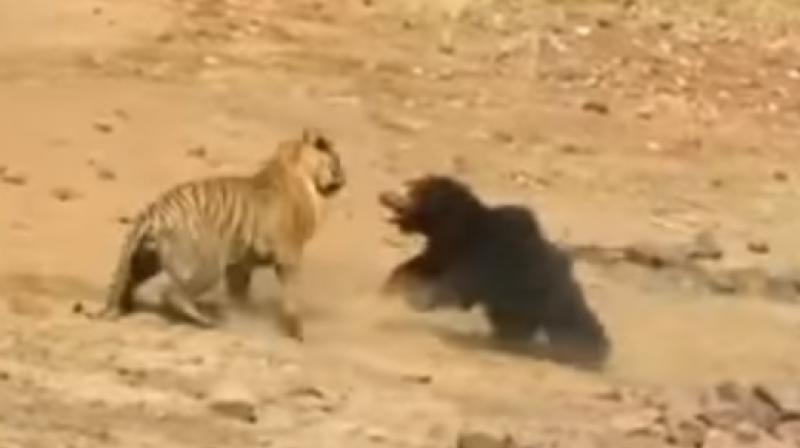 The bear's fur protected her from further attack since the hair didn't let the tiger maintain a grip (Photo: YouTube)