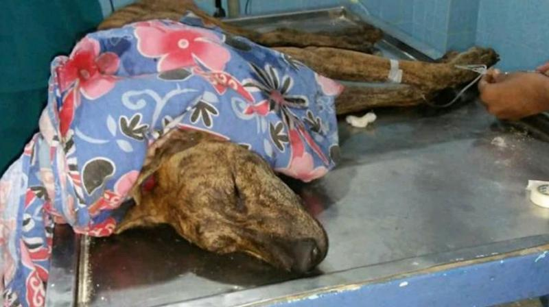 One of the poisoned dogs which was brought to the Blue Cross clinic died a day  later. Doctors confirmed that the dog was poisoned.