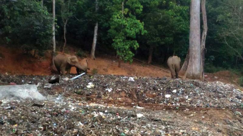 Elephant seen feeding on the plastic waste at Sabarimala.