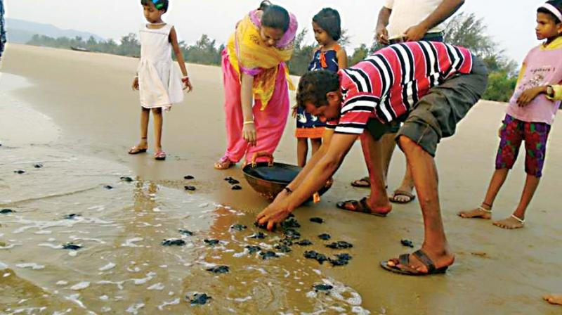 Baby turtles being released into the sea off Honnavar coast.