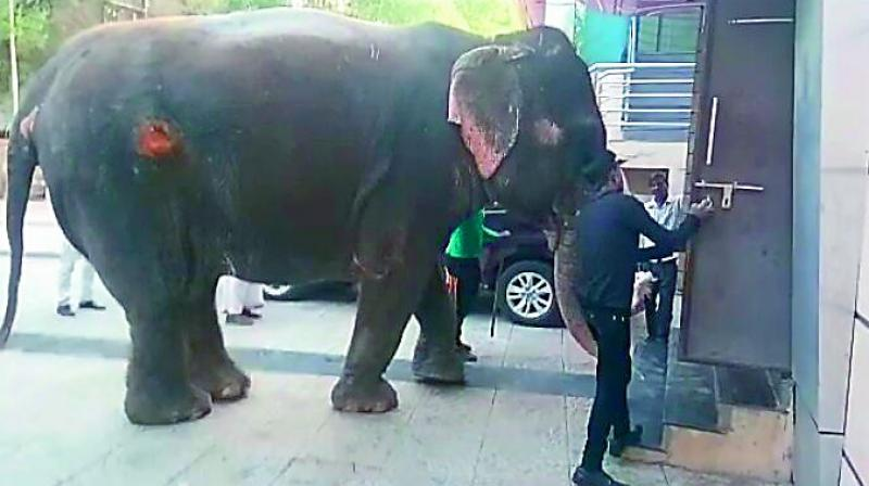 The elephants with wounds was noticed by the activists of People for Animal in Indore who filed the petition in the court demanding that it be released in the wild.