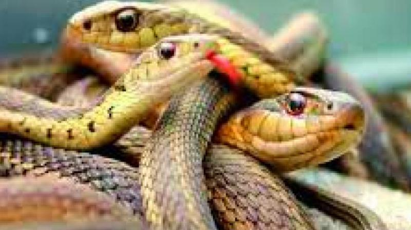 The police received a tipoff that two people were trying to sell two-headed red sand boa and rushed to the APMC Yard Vegetable Market around 10 pm where the duo was waiting for customers to finalise the deal.  (Representational Image)  (Photo— Via web)
