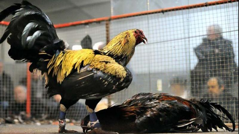 Andhra Pradesh's prized cocks raring to go for the Sankranti season fights are being reared in Telangana soil as it was considered suitable and healthy' for them.
