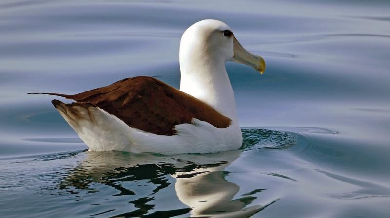 While albatosses mate for life, they do take a new partner if their mate dies. (Photo: Pixabay)