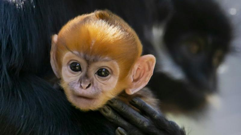 The baby's bright orange hair lasts just a few weeks before it begins to darken to the colour of its mother Noel's fur. (Photo: AFP)