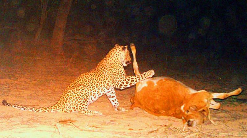An image captured in the camera trap set by forest officials shows the leopard gorging on the carcass of a calf it had killed earlier in the day near Yacharam in Ranga Reddy district.