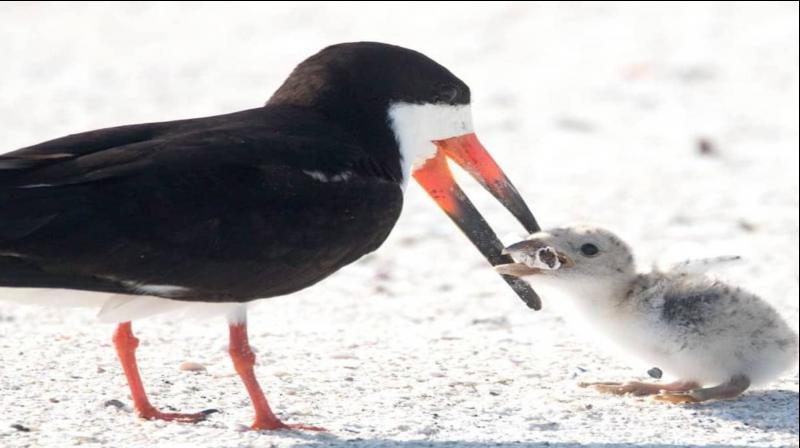 A Largo woman who was visiting St Pete Beach came across a sad scene of a black skimmer seabird picking the butt up and putting it in the baby's mouth. (Photo: Facebook   Karen Catbird)
