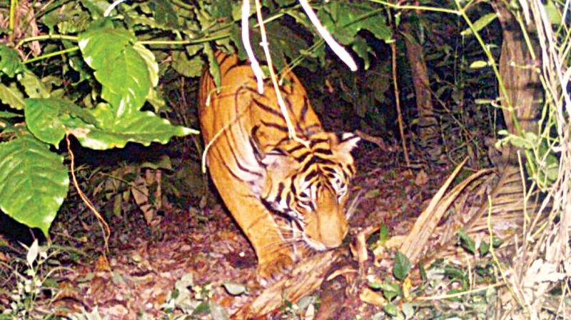 A picture of the tiger which strayed into Uduse village of Mudigere in Chikkamagaluru district. (Photo: DC)