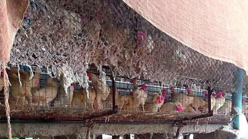 Poultries are stored in battery cages at the Indira poultry farm in the Yadadri Bhuvanagiri District.