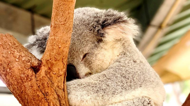 In the southern states of Victoria and South Australia, koala populations vary widely from abundant to low or locally extinct. (Photo: Pexels)