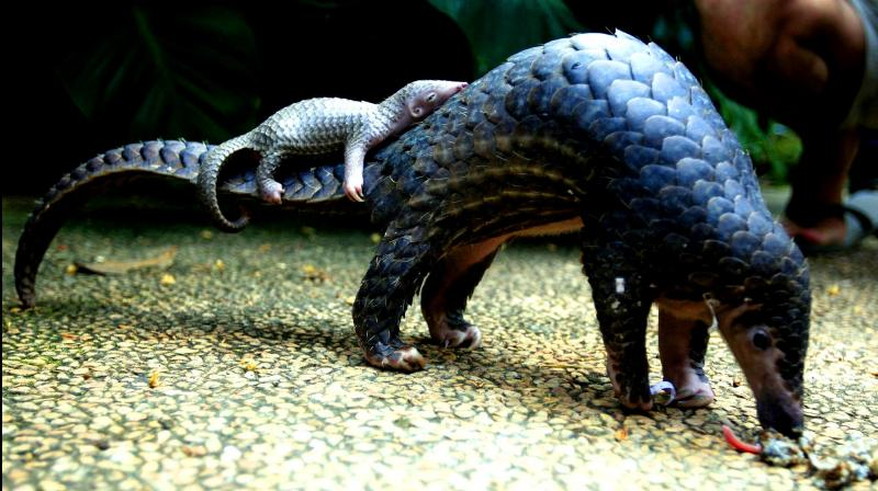 A pangolin carries its baby at a Bali zoo in Bali, Indonesia. (Photo: AP)