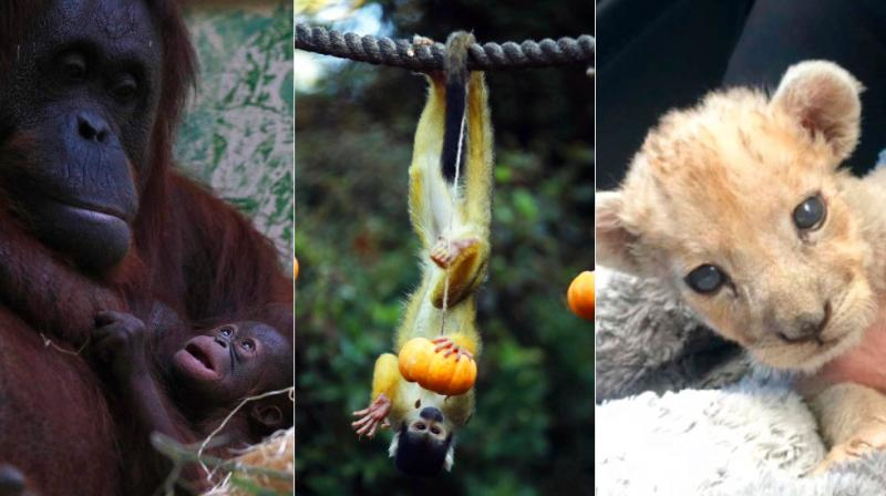 From a lion cub born in a garage to a baby octopus, returning bighorn sheep and lemurs, here are animals who grabbed eyeballs this week. (Photos: AP)
