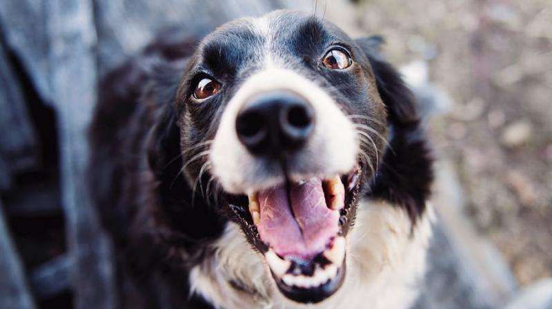 Researchers discover hormones that make dogs aggressive. (Photo: Pexels)
