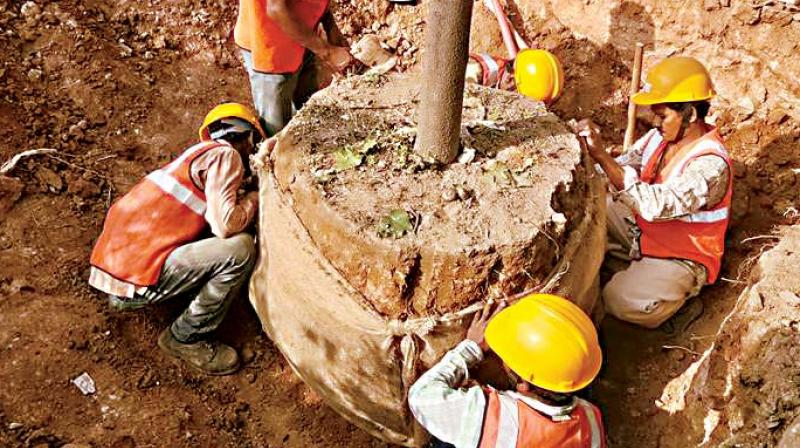 Workers translocate a tree from Whitefield Road to Satya Sai Hospital premises on Tuesday – DC