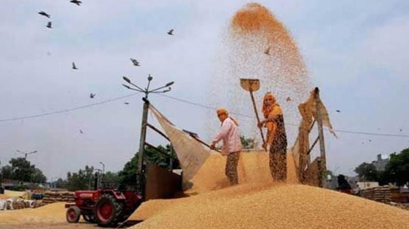 Farmers drying wheat. (Photo: File/PTI)