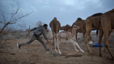 For three months a year, in the winter time Bedouin Arab herders take their 130 camels to graze on the shores of the Dead Sea, at the lowest place on Earth. (Photos: AP)