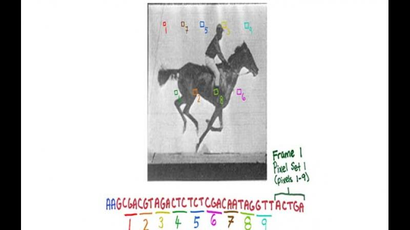 The new CRISPR technology enables the recording of digital data, like frames of the movie of a galloping horse, in a population of living bacteria. 	— Credit: Wyss Institute
