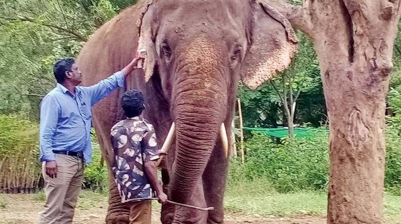 Male ♂ Asian elephant (<em>Elephas maximus</em>) Andal at Top Slip Kozhikkamuthy Elephant camp (Annaimalai)