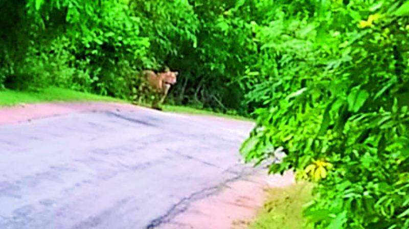 A tiger spotted at beside a road in the forest near Lodvelli, between Penchikalpet and Bejjur, in Kumarambheem Asifabad district on Friday.