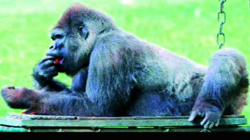 A file picture of Suzy, the chimpanzee at the Nehru Zoo, relaxing on a swing and eating fruit.