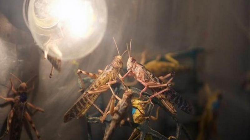 Adult locust swarms can fly up to 150 kilometres in a day with the wind and adult insects can consume roughly their own weight in fresh food per day. A very small swarm eats as much in one day as about 35,000 people, posing a devastating threat to crops and food security. (Photo: ANI)