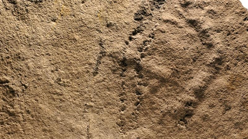 The animal appears to have paused from time to time, since the trackways appear to be connected to burrows that may have been dug into the sediment. (Photo: AFP)