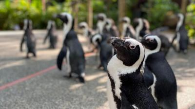This cute group of penguins are making most of Singapore city's zoo while it's locked down for public. (Handout photo released by Wildlife Reserves Singapore)