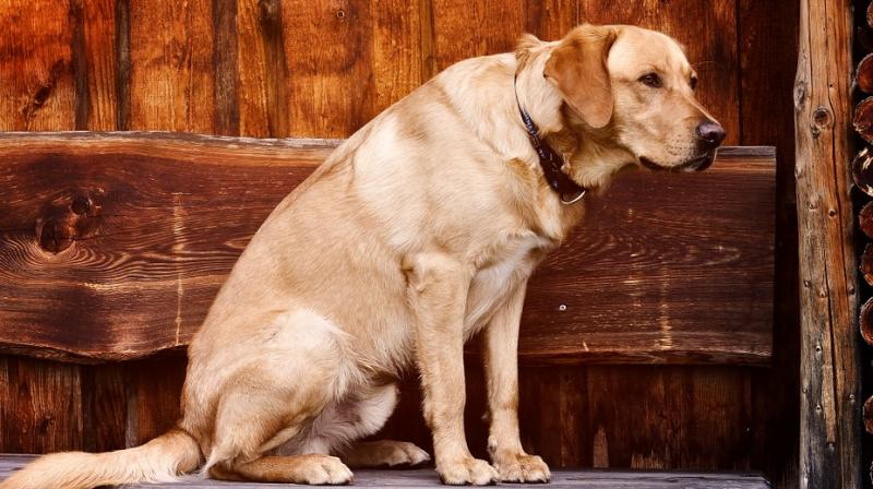 A dog's colour could impact longevity, increase health problems