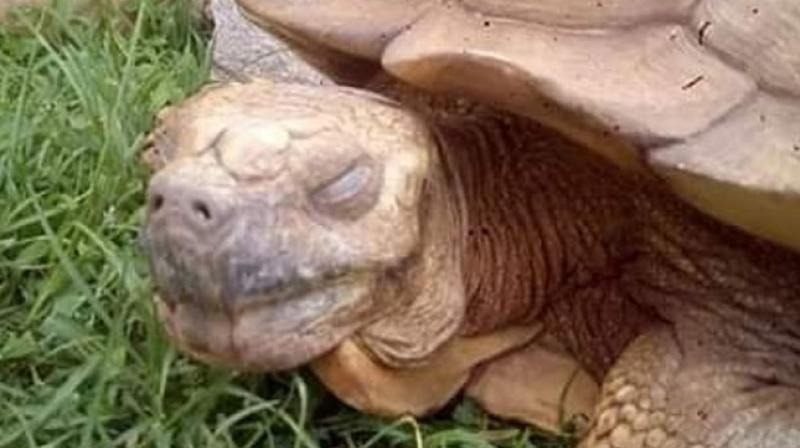 A tortoise whose royal owners claimed was 344 years old years old has died in the palace of the traditional ruler of Ogbomosho, southwest Nigeria, a spokesman said Saturday. (Photo: Twitter/ @AlsoDamilare)