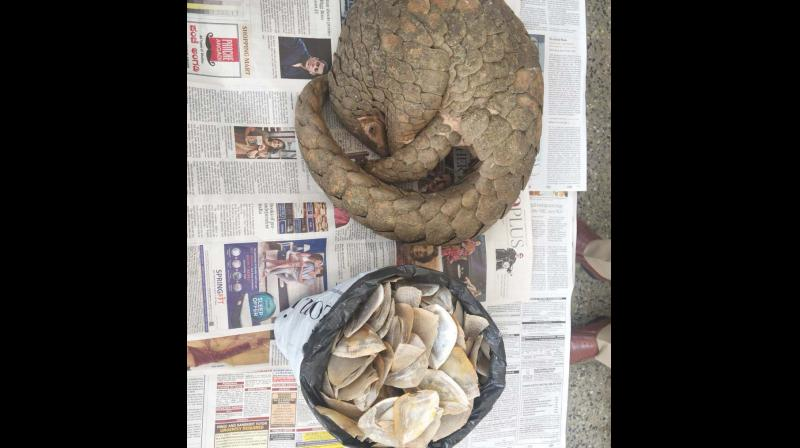 A live Pangolin siezed from poachers.