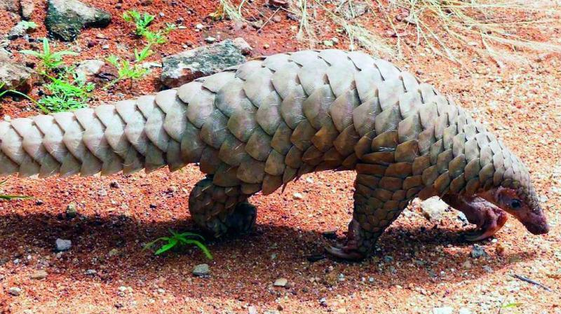 Those involved in poaching and smuggling of pangolins will face imprisonment not less than three years which can be extended up to a maximum period of seven years under Section 5 of Wildlife Protection Act, 1972.