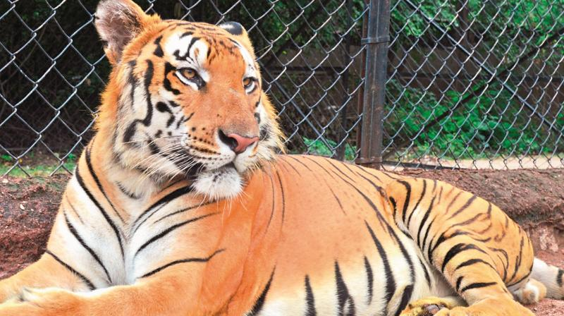 Tiger Kadamba, who once went walkabout in Hyderabad zoo, dies of heart failure
