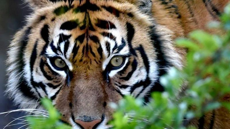 The data makes it clear that successive governments have not been able to check killing of tigers (Photo: AFP)