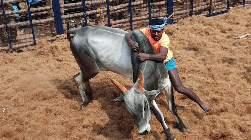 It was a grand show with 519 bulls drawn from neighbouring districts featuring in the 'jallikattu' event and 242 bull-tamers, divided into three groups for the purpose of the event, vying for honours and attractive prizes.
