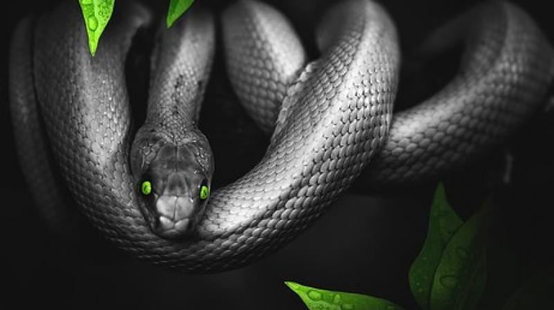 The massage uses snakes who compress and squeeze the subject thereby relaxing their muscles. (Photo: Pixabay)