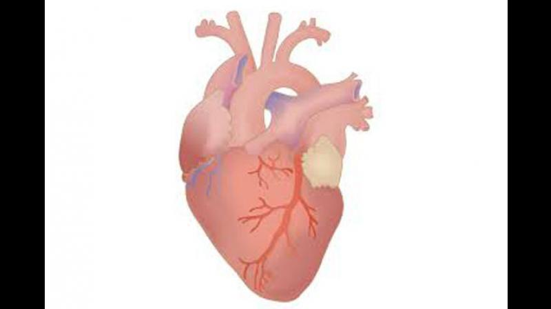 Researchers worked with two types of heart stem cells currently used in the clinical trials -- bone marrow mononuclear cells and cardiac progenitor cells. (Photo: ANI)