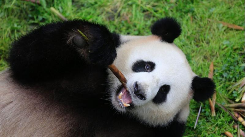 Meng Meng, one of the two giant Chinese panda bears. (Photo:AFP)