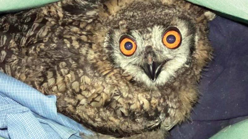 The owl rescued by District Crime Intelligence Bureau