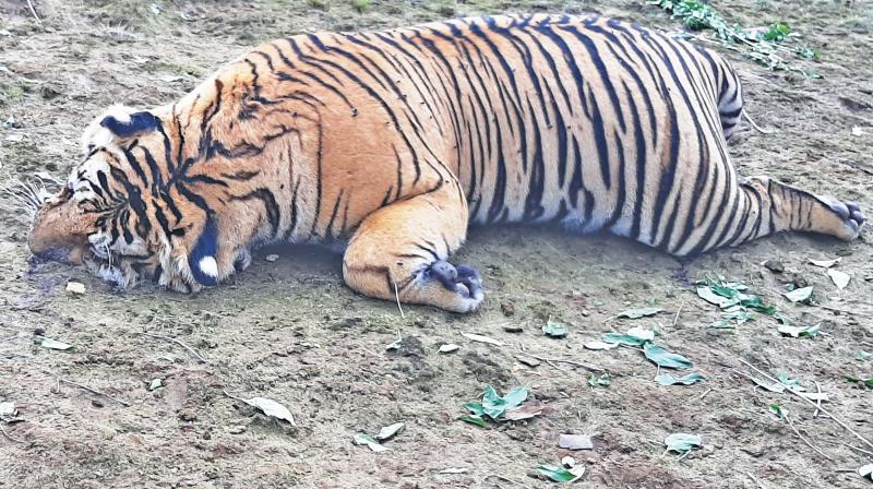 The carcass of the tiger found at Parson's Valley near Ooty on Sunday. (DC)