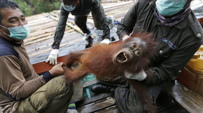Borneo's orangutan population suffering
