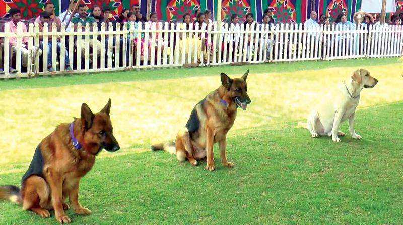 Dogs at the three day annual dog show in Ooty.  (Image: DC)