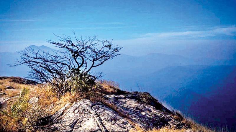 Nellimaram atop Nelliyampathy Hill.