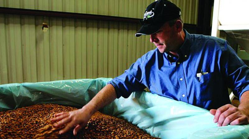 Almond growers in the US are a worried lot as authorities last month predicted a record California almond crop for the upcoming production year.